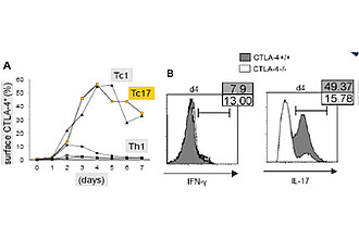 Figure 1: CTLA-4+/+ and -/- CD8+ T-cells were cultured in Tc1/Tc17 conditions.